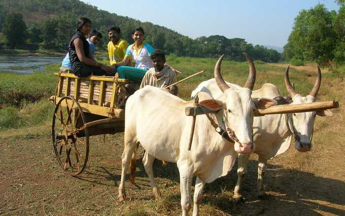 Bullock Cart Ride Enjoyed by Guests
